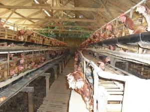 Peluang Usaha Budidaya Ayam Petelur